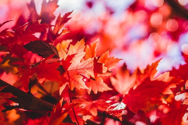 maple-leaf-1209695_640